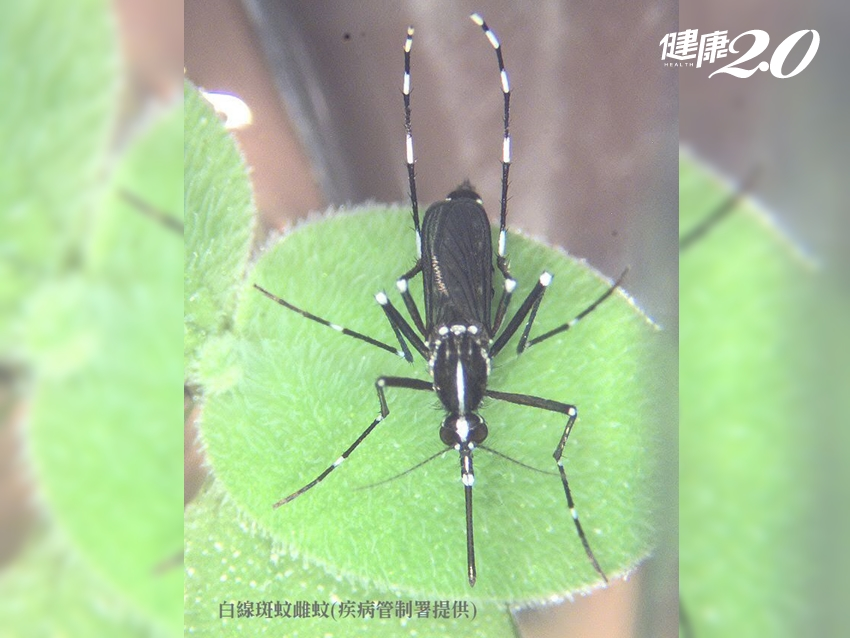 登革熱現蹤新北市!蚊子可以飛多遠?半徑50公尺內要小心
