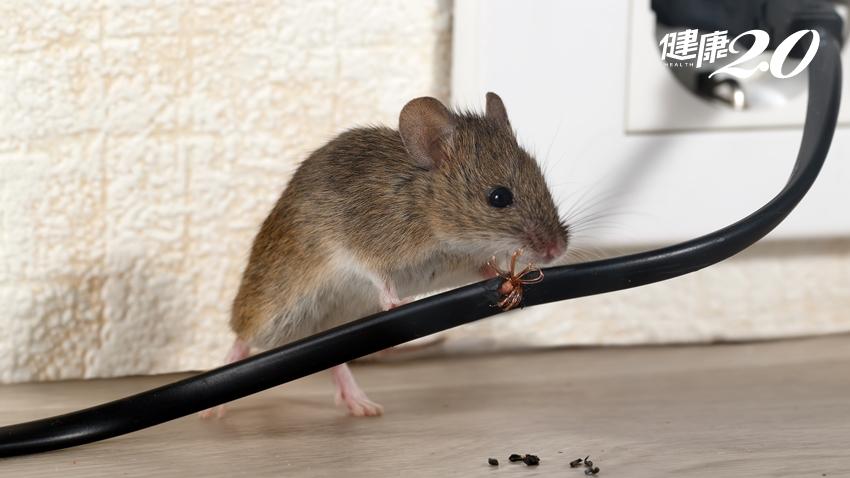 今年首例漢他病毒出血熱 發現老鼠屎「這樣消毒」才安全