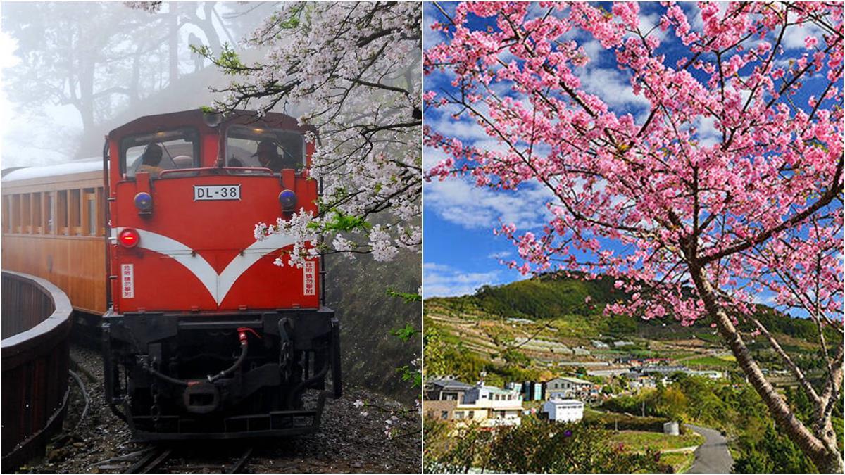 阿里山櫻花開了!3月限定檜木小火車快搶票,3/10起這10天交管要注意