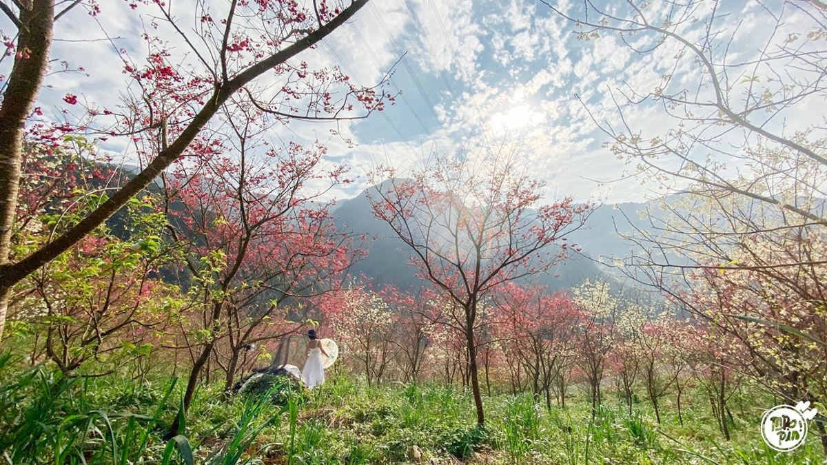 【全台賞櫻12祕境】部落客私藏!北部6處櫻花美景:千株昭和櫻花林、拍天使照