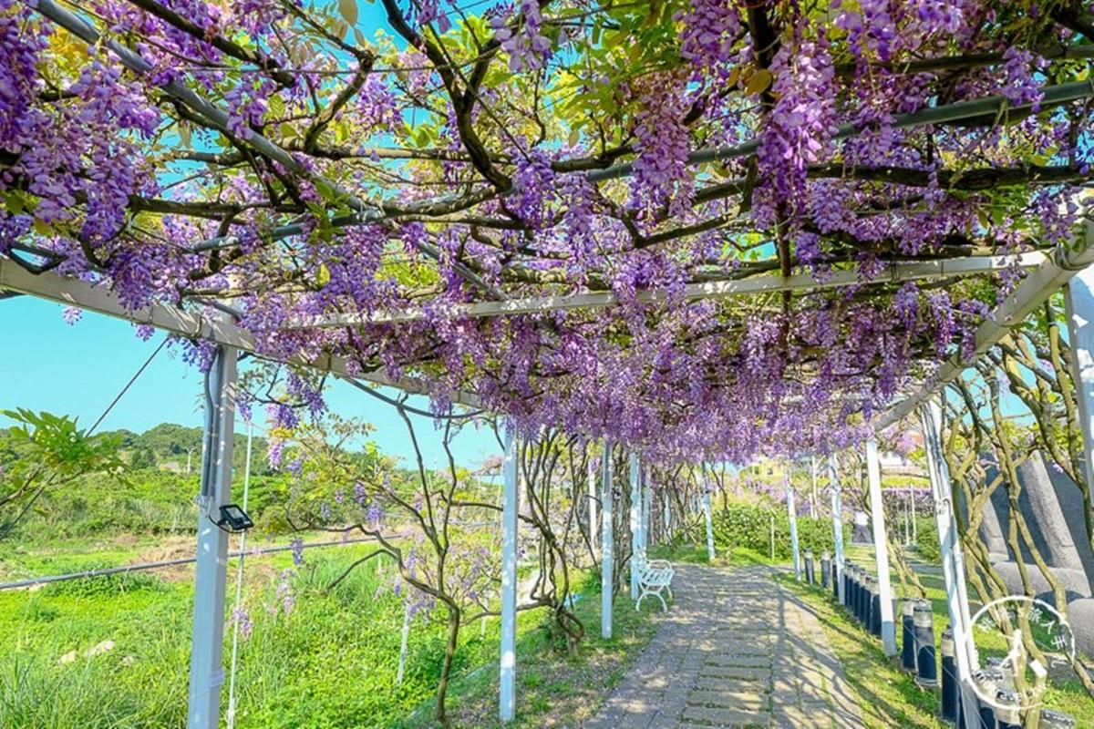 全台最大「紫藤花園」在淡水!千株紫藤花「從天灑下」最美花期曝光,順拍摩艾石像