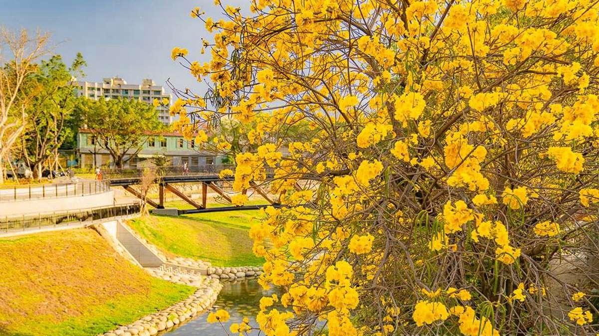 金黃色的台南超美!黃花風鈴木盛開,在地部落客推薦市區這2點