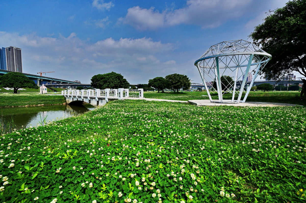 雙北飄4月雪!新北河濱公園「白花三葉草」盛放一大片,228公園「流蘇王」披白紗