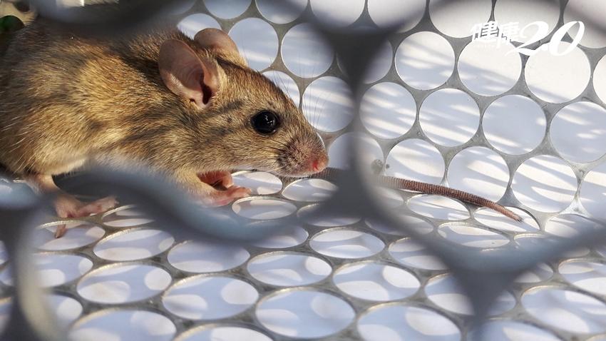 北部男沒被老鼠咬也中鏢!漢他病毒出血熱今年已4例,創20年來新高