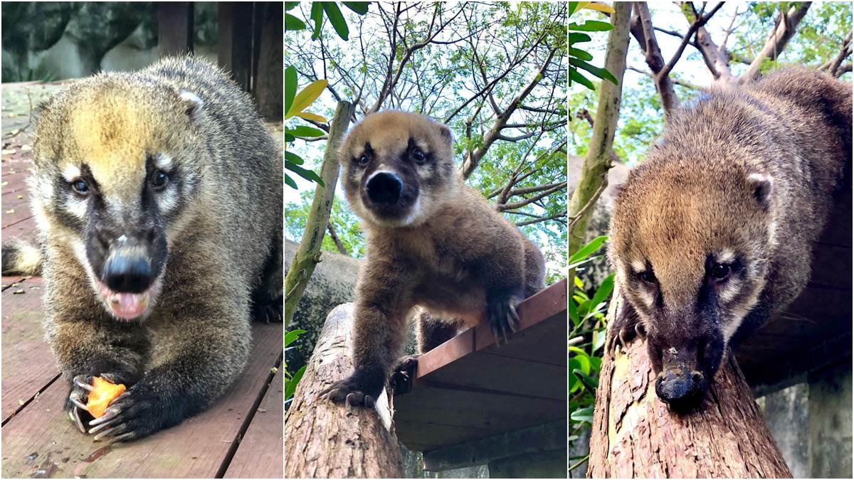 高雄壽山動物園開放露營住一晚,看長鼻子「醜帥」新朋友,獅子、狐獴陪你睡