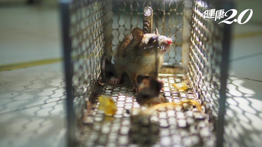 屏東男感染漢他病毒、竟捉出11隻老鼠!醫師強調「沒被咬傷也會傳染」