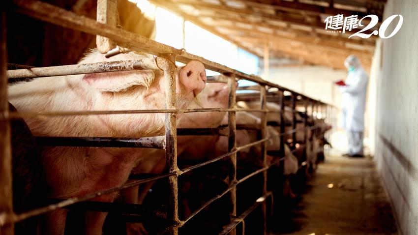 中國發現新型豬流感病毒,會傳染給人嗎?疾管署這樣說