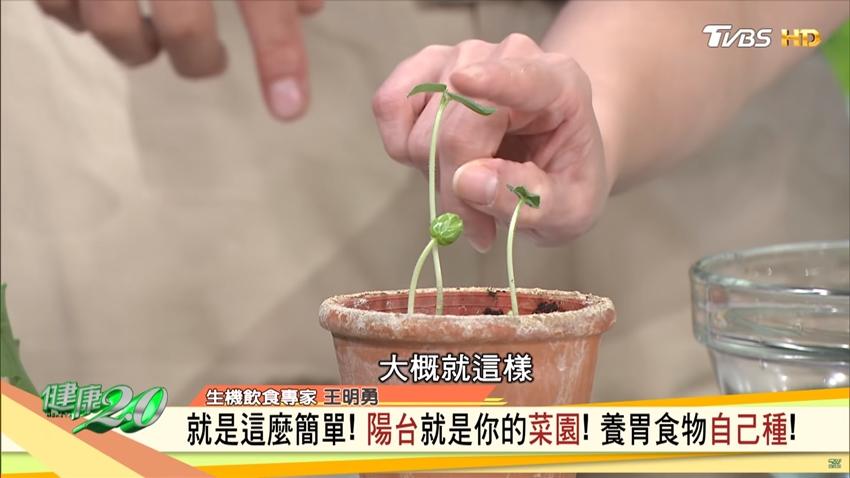 王明勇的護胃法寶「秋葵」 一個盆栽就能在家自己種!