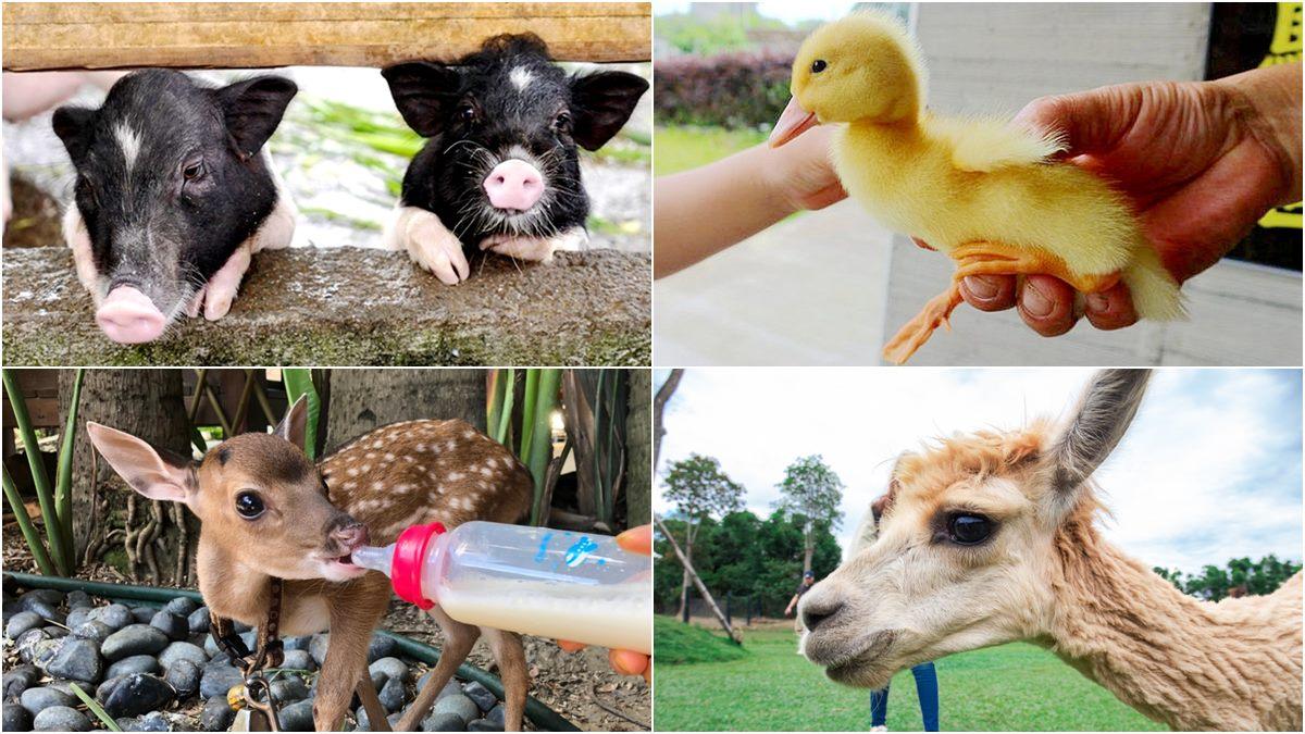 【全台20個親子動物農場】超可愛動物朋友集合啦!羊駝、狐獴、小鴨、毛兔、萌萌豬,還有斑比陪賽跑