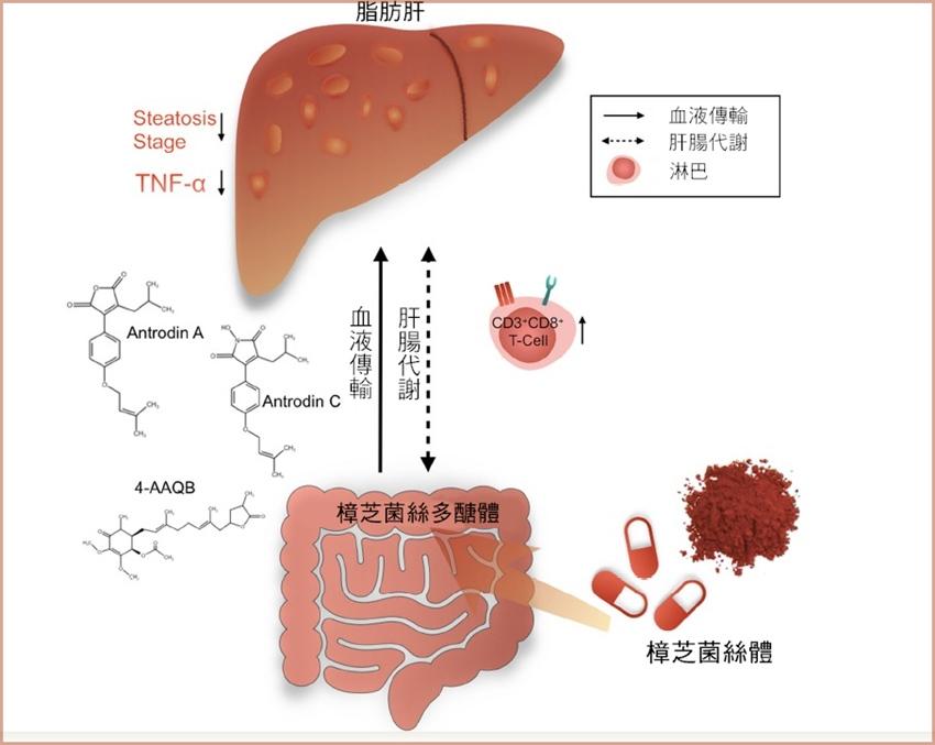 治療脂肪肝有新發現!國內人體臨床試驗:服用樟芝可降低脂肪肝