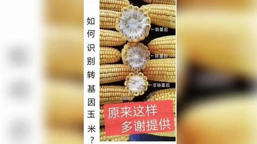 數數玉米有幾排就能辨識基改玉米?網路瘋傳基改玉米辨識圖是真是假?