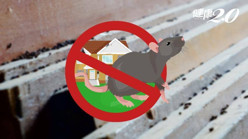 漢他病毒又現蹤!2種場所風險高 發現老鼠排泄物這樣做