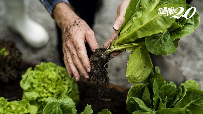 萵苣、A菜、鵝仔菜…營養師大推天然解毒劑 吃烤肉、香腸、火腿的絕配