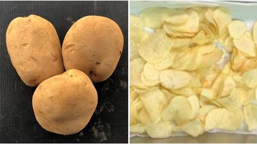 買馬鈴薯就怕發芽大爆雷 專家私傳洋芋保存法,久放不變質且味道好