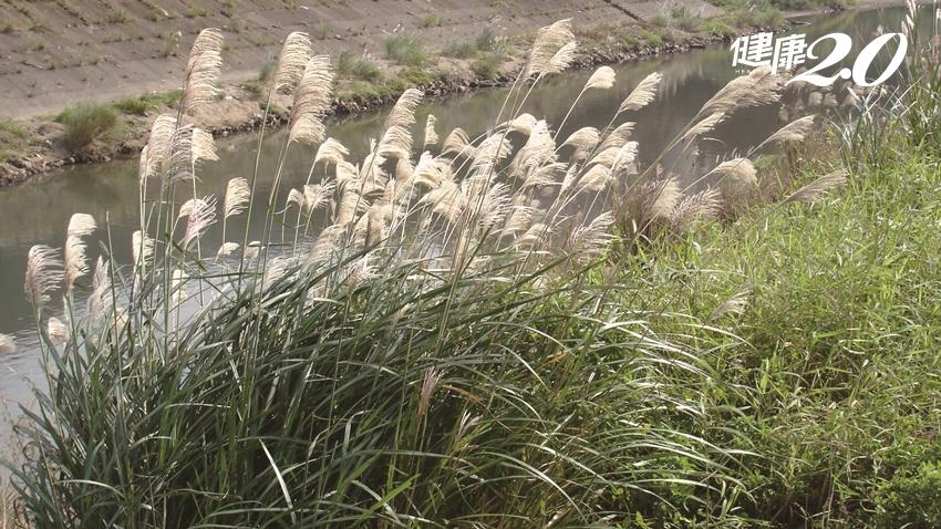 秋冬必賞芒花海美景!「芒草」不是雜草 專家教你吃芒草解毒、止咳