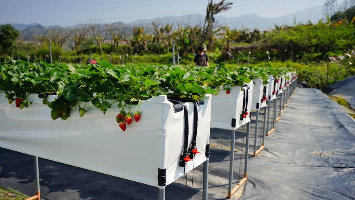 現採最新鮮!全台14處採草莓熱點+順遊:香甜「美姬」、3倍巨無霸、荷蘭魔力紅
