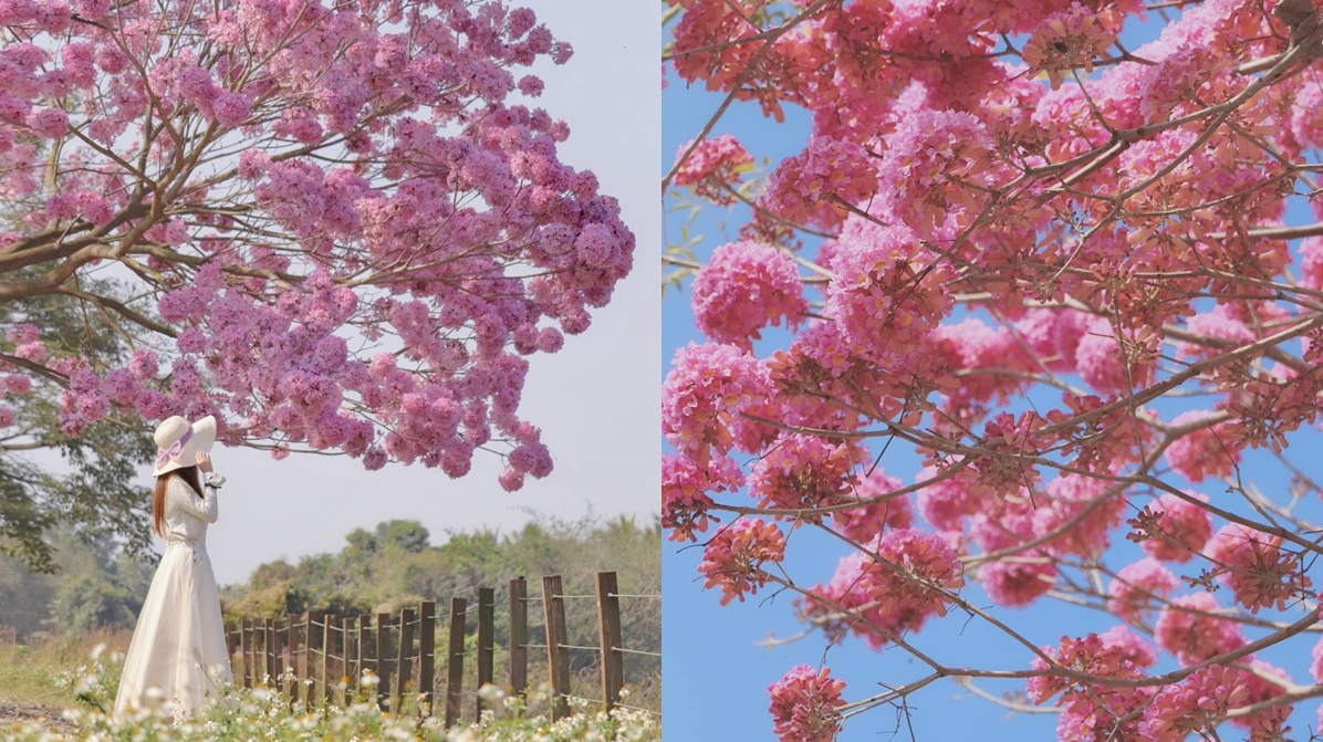 「粉色棉花糖」花海太仙!紫南宮上百棵「洋紅風鈴木」盛開,求財兼拍奇蹟美照