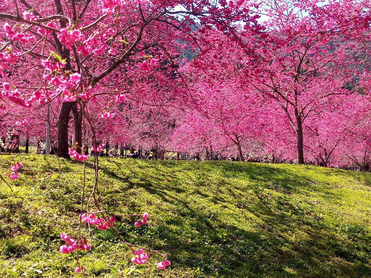 4種櫻花齊放超美!全台最大賞櫻「九族文化村」樂園滿開,八重櫻、吉野櫻、富士櫻齊現身