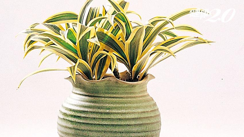 3種盆栽能開運、招財!家中、辦公室都可放 助你一帆風順、事業有成