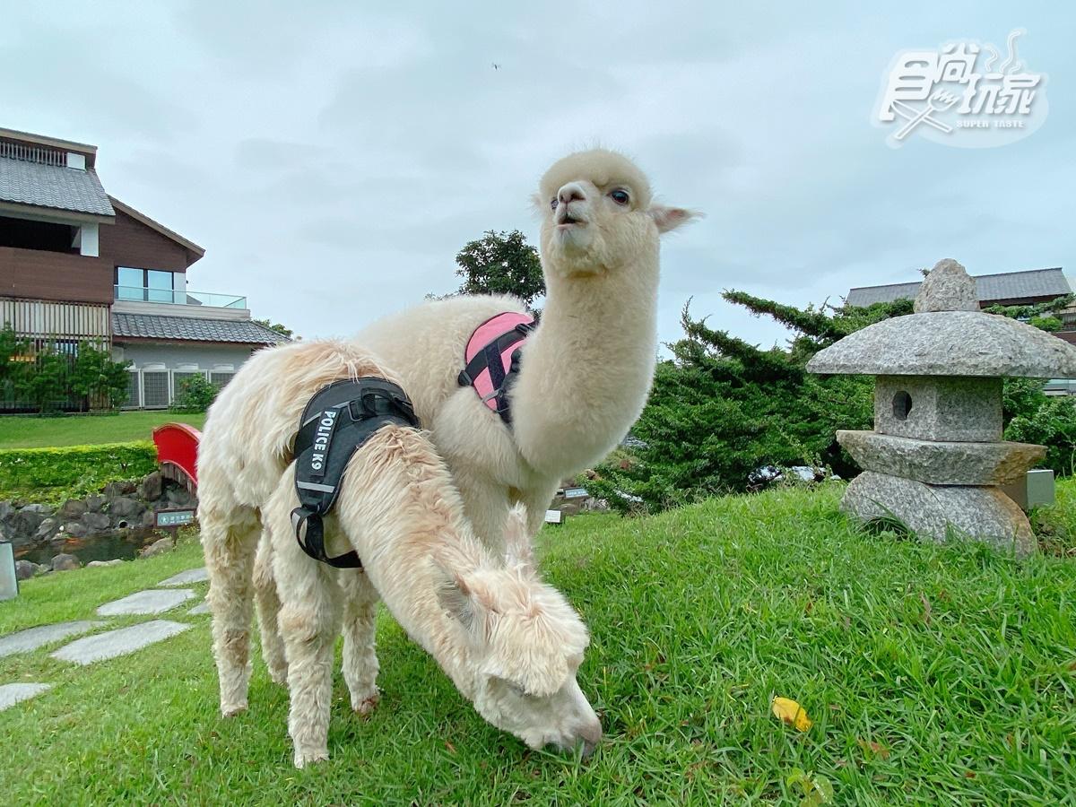 全台唯一免預約「動物體驗飯店」!羊駝、水豚和狐獴都有,還能扮炭治郎、爽泡日式湯泉