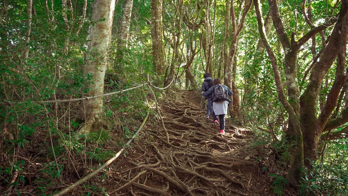 打卡台版阿凡達!新北最高峰步道宛如「魔幻迷宮」,神祕森林怎麼拍都好看