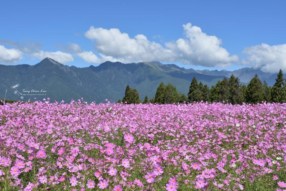 錯過再等1年!福壽山秋季限定「波絲菊花海」,粉紫仙境+無敵山景超好拍