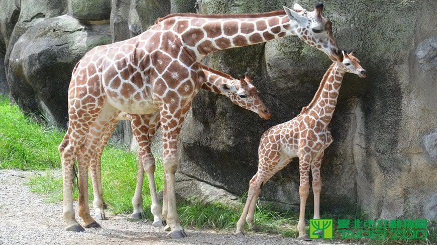 圖/台北市立動物園 不適應搬運!長頸鹿「宵久」太緊張致死