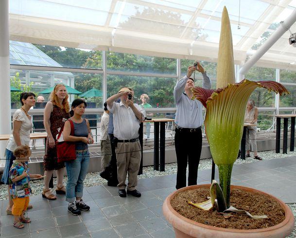 圖/達志影像路透社 3公尺高惡臭巨花魔芋 紐約植物園綻放