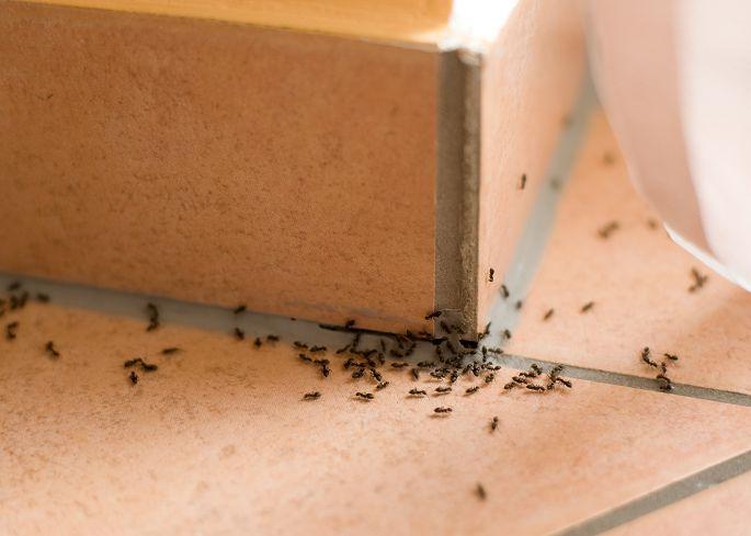 示意圖/TVBS 「蟲蟲危機!」 黑蟻雄兵大舉入侵南投民宅