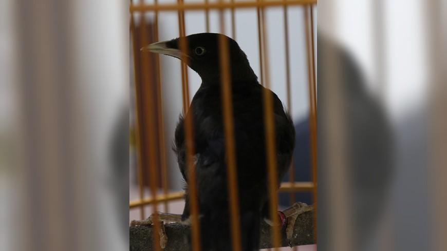保育類台灣八哥遭到剪羽,還有掛腳環,飼養事證明確。圖/新北市動保處提供 諷刺!護鳥人士竟私養保育「八哥」 恐坐1年牢
