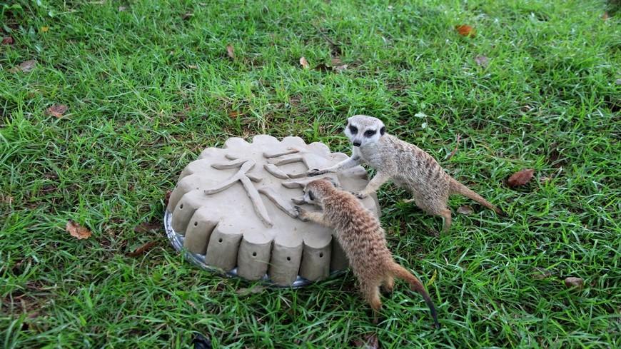 新竹六福村特別準備特色月餅讓人氣動物「狐獴家族」應景過節。 逗趣!狐獴家族也過中秋 一家四口同吃「蟲蟲月餅」