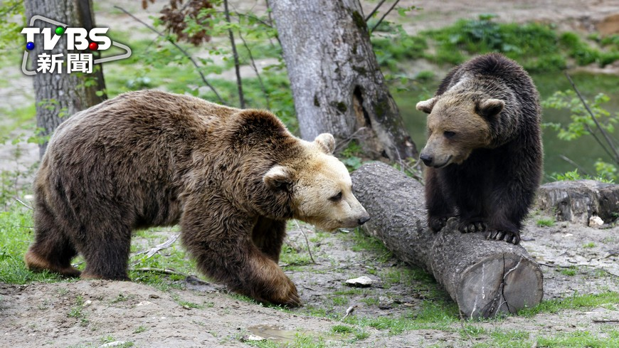 圖/達志影像路透社 羅馬尼亞熊闖市區 麻醉藥無效遭警射殺