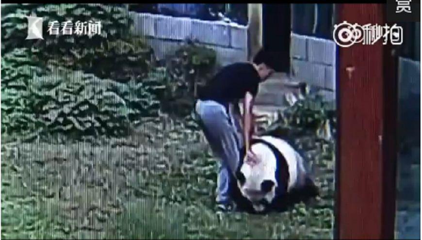 圖/擷取自影片 ㄎㄧㄤ!男翻越動物園區 吵醒「貓熊」被追咬