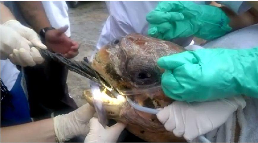 圖/擷取自影片 悲!海龜嘴裡拉出整張「漁網」 痛到泛淚仍堅強張嘴
