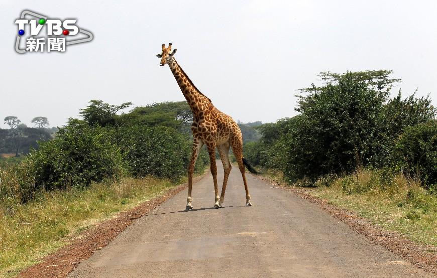 圖/達志影像路透社 長頸鹿被列易危物種 30年數量銳減4成