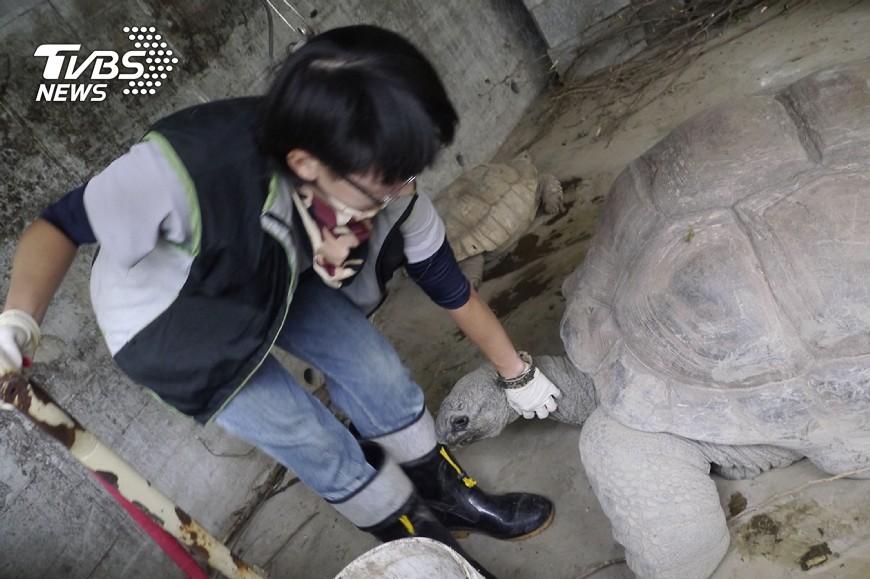 民眾到動物園遊玩時,常羨慕保育員可貼身接觸許多野生動物,但保育員也是「鏟屎官」,台北市立動物園說,藉觀察糞便推估動物生理狀況,是不可缺的基礎工作。圖為象龜討摸照。圖/中央社(動物園提供) 動物保育員日常「屎」命 看緊動物生理變化