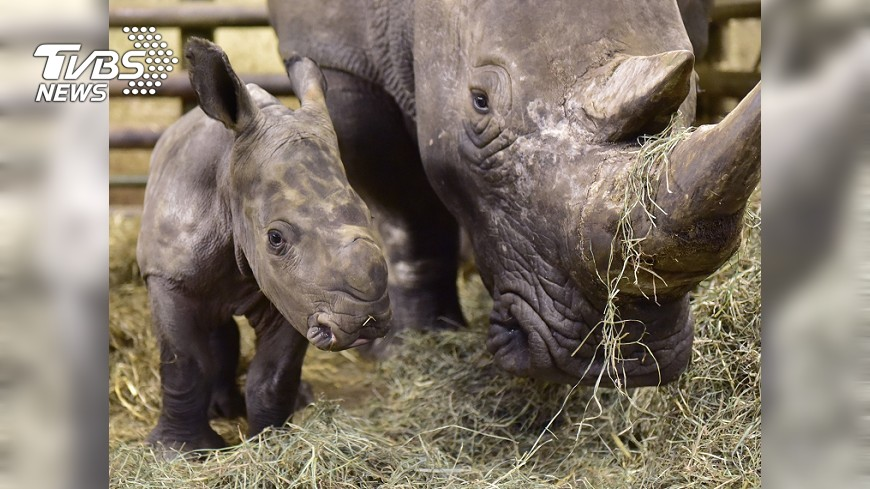 圖/達志影像美聯社 犀牛便便好重要 判斷年齡性別要靠它