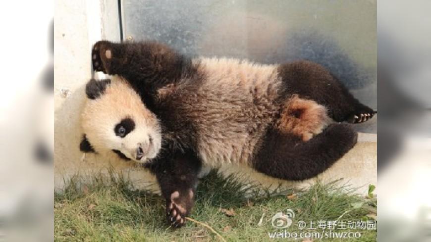 上海母貓熊突病逝 半歲寶寶花生也猝死