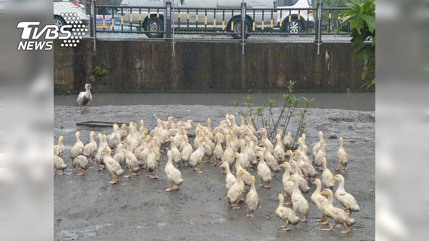 圖/中央社 鴨子聽周杰倫歌曲 老農種出好吃稻米