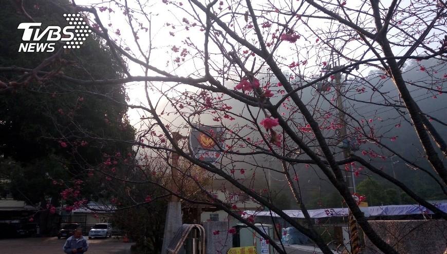 圖/中央社 泰安櫻花季19日開跑 交通管制看這邊