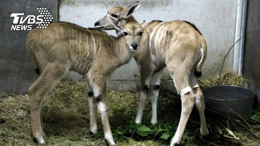 圖/中央社 伊蘭羚羊母女同天生產 多2隻小羊