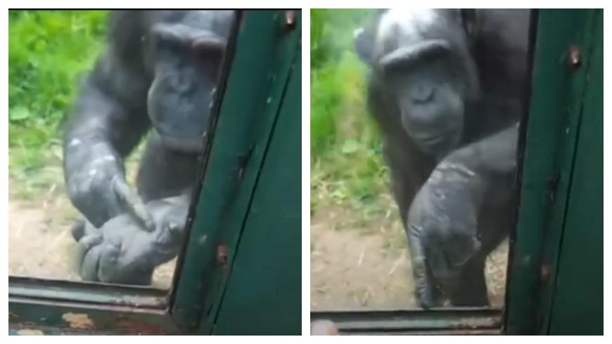 圖/Dodo Impact 幫我開好嗎… 動物園黑猩猩比手語求幫開窗 想重獲自由