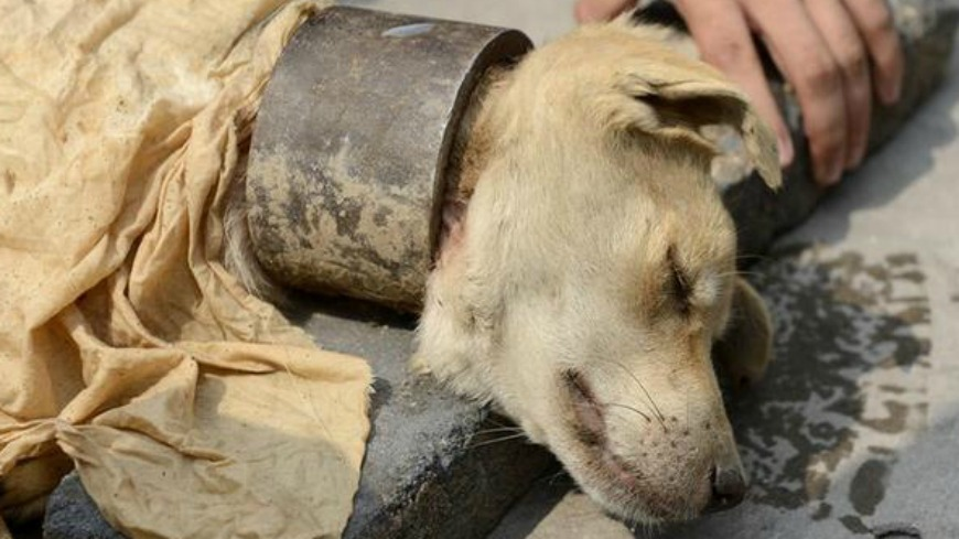 圖/擷取自網路 1.2公斤鐵鍊鎖喉 瘦弱狗被壓到無法進食