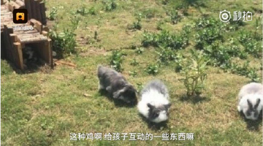 圖/取自微博梨視頻 整間都在騙!動物園麝香豬放「貴賓狗」 遊客氣歪