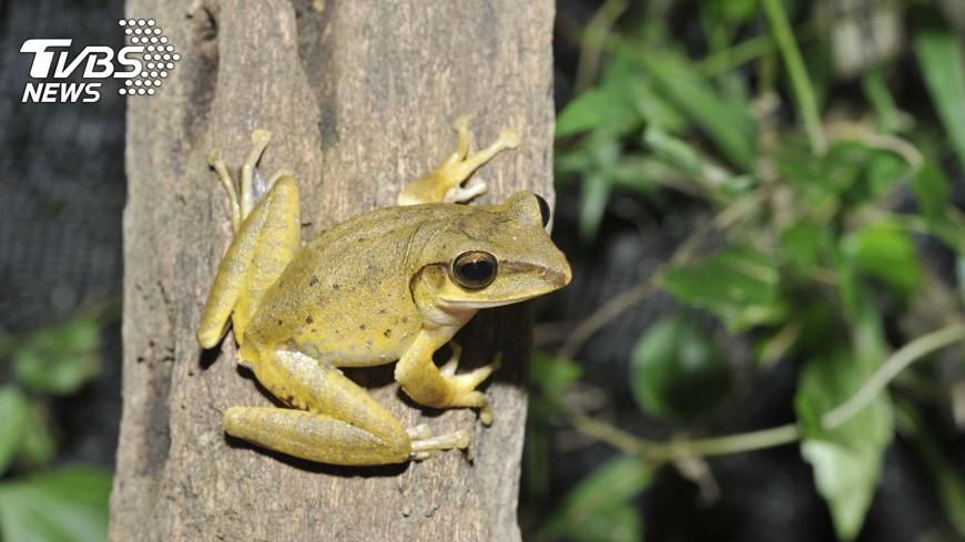 圖/中央社 除害大作戰 抓斑腿樹蛙認識生態