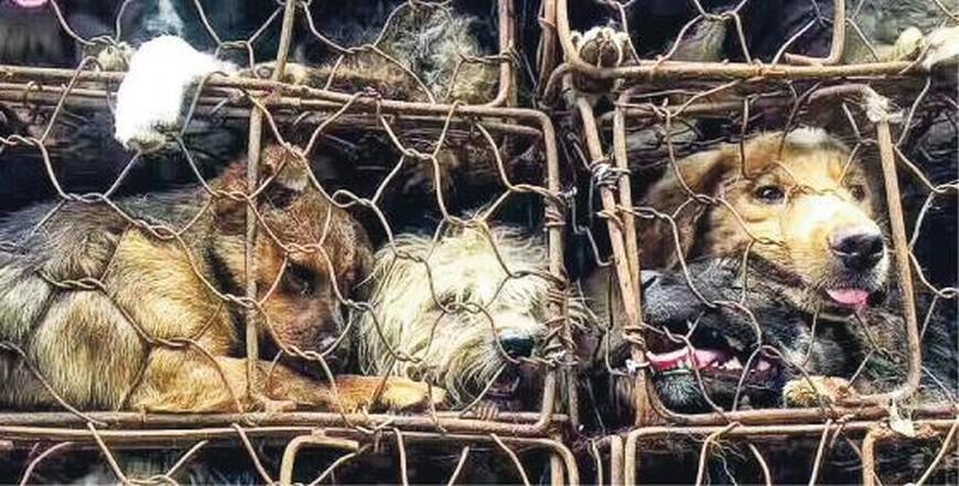 圖/翻攝自網路 不理譴責玉林狗肉節照舉辦 義工攔貨車救出1300犬