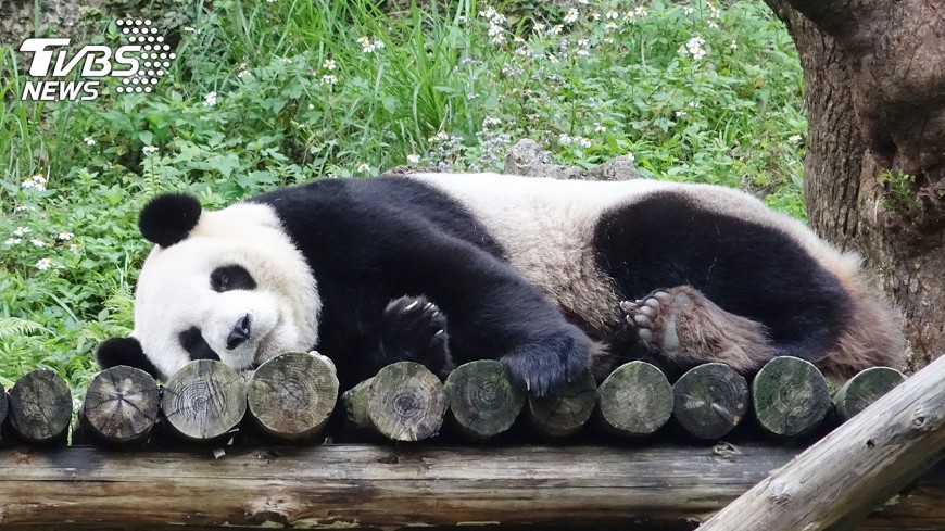 圖/中央社 圓仔變少女了 陸貓熊基地要為她覓情郎