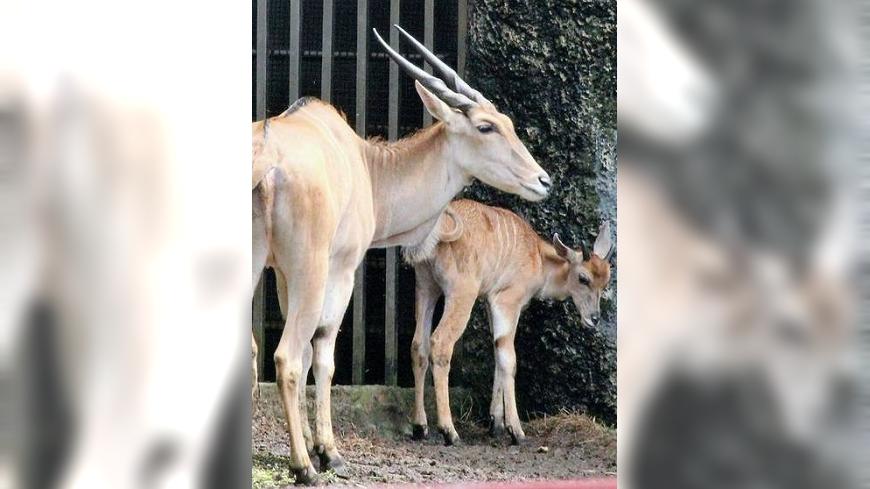圖/翻攝自Shou Shan Zoo 壽山動物園臉書 伊蘭羚寶寶取名「北蘭」 壽山動物園引網友爭議