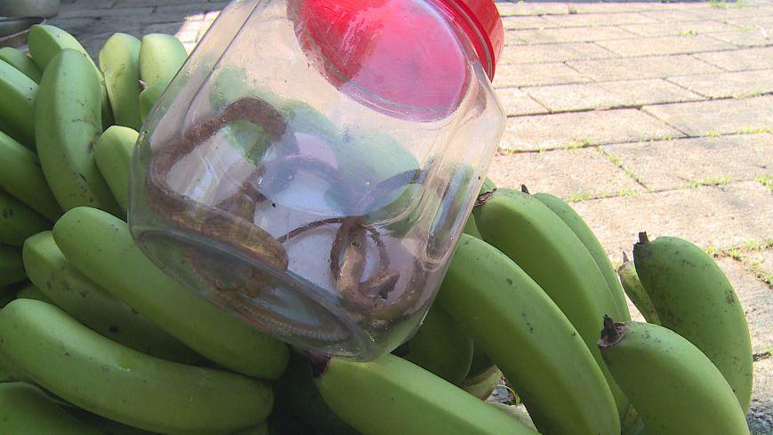 圖/衛福部南投醫院提供 蕉農遭蛇咬傷 連人帶蛇衝急診