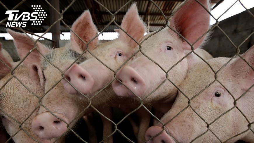 圖/達志影像路透社 豬協反對瘦肉精豬進口 因食安疑慮未解